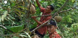 Didesa Adisana Bumiayu, Lahan Kritis Disulap jadi Kebun Durian
