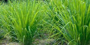 Bididaya Serai Wangi di Brebes dapat Dukungan Menteri Pertanian